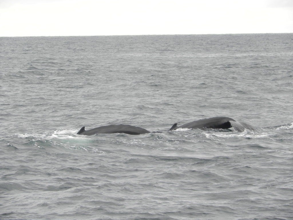 Whales off the Bay of Boston