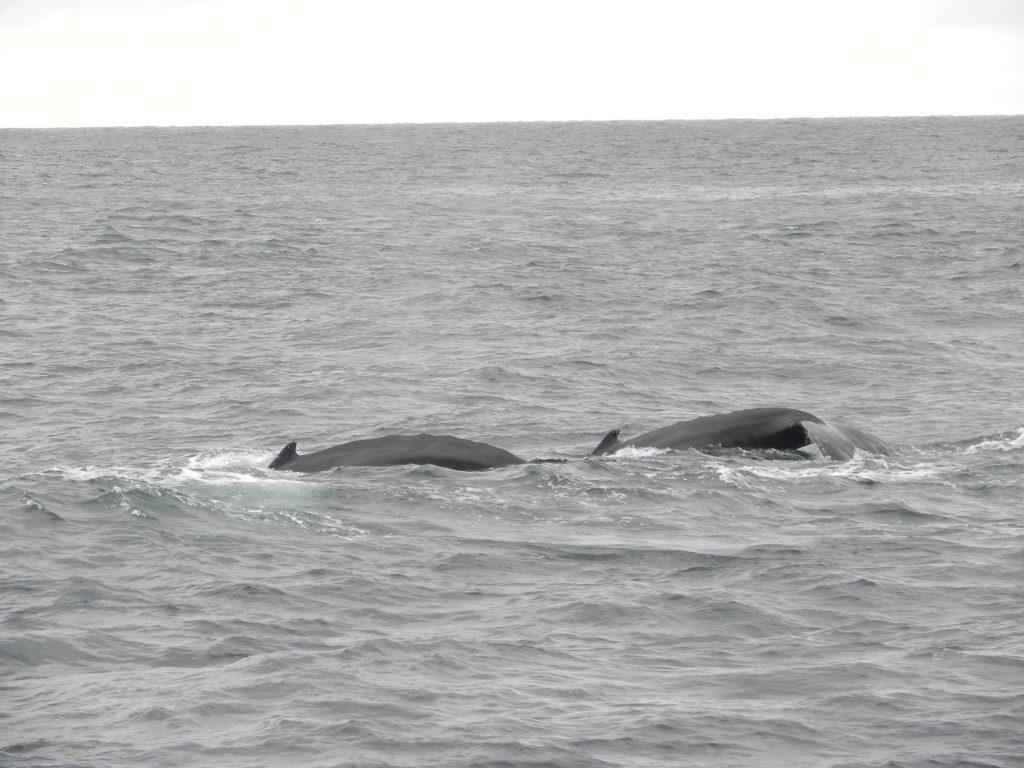 Una coppia di balene, fotografate da mio marito, uno dei pochi