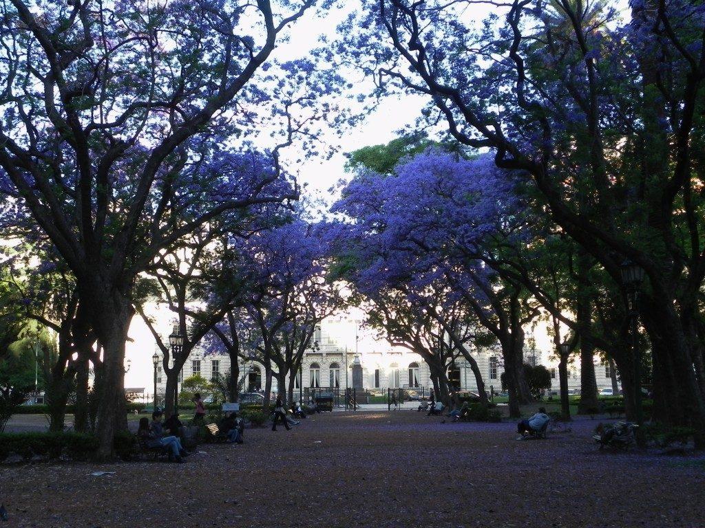 Glicini in fiore a novembre a Buenos Aires...