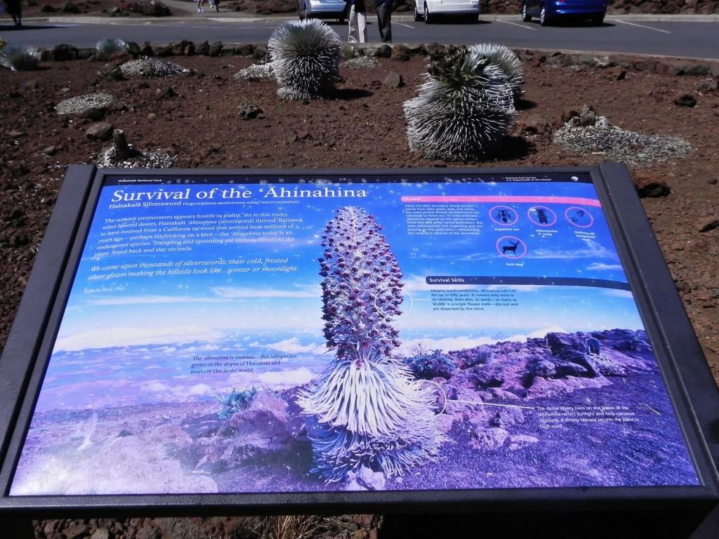 L'Ahinahina o Silversword, la pianta che fiorisce ogni 20 anni