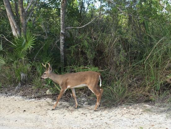 "Scoprire le Florida keys: uno dei ""cervi delle Keys"", National Key Deer Refuge"