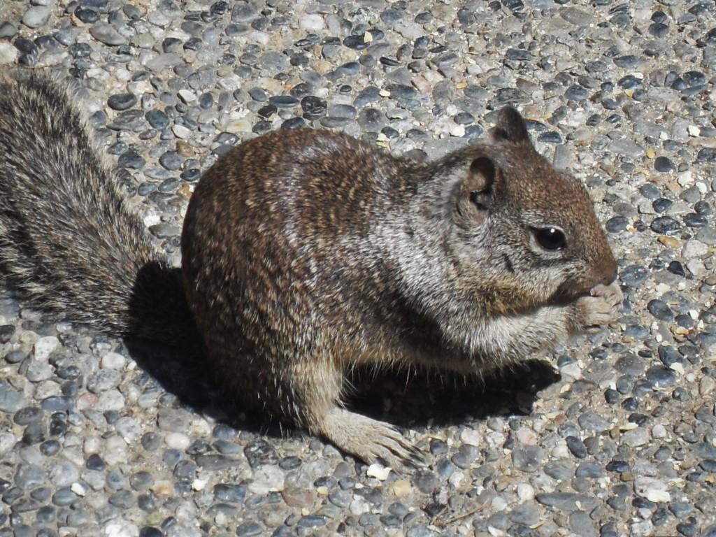 Un piccolo abitante di Yosemite