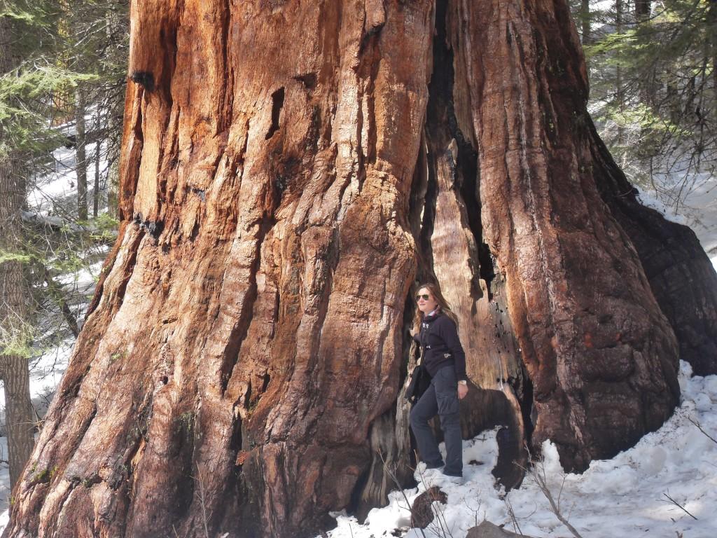Una delle Giants Sequoias, il tronco misura di più di sei metri di diametro