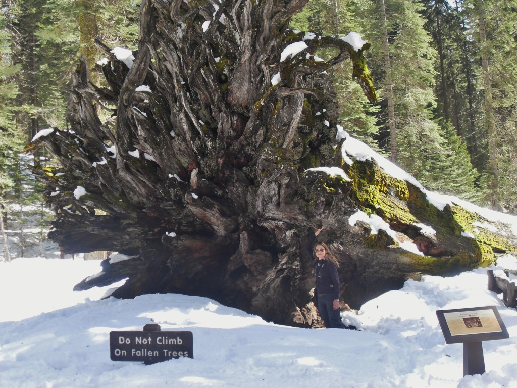 Giant Sequoias, the Fallen Monarch, il Re caduto